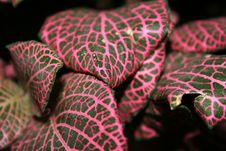 Free Pink Plant Royalty Free Stock Photo - 5549845