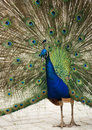 Free Proud Peacock. Stock Photography - 5558082