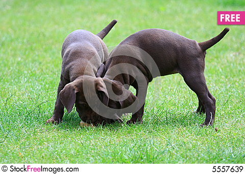 Free Puppy Royalty Free Stock Images - 5557639