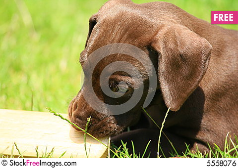 Free Puppy Royalty Free Stock Image - 5558076