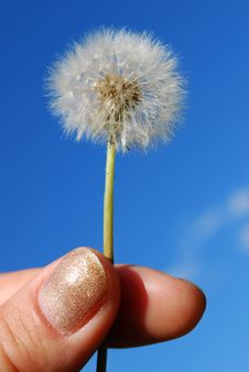 Dandelion In The Hand Stock Images