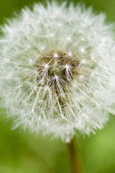 Free Dandelion On The Meadow Royalty Free Stock Photos - 5550228