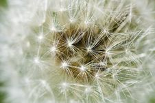 Free Dandelion On The Meadow Royalty Free Stock Photo - 5550235