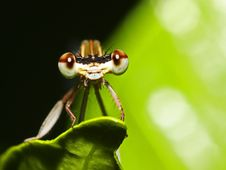 Free Damselfly Stock Images - 5550304