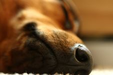 Free Dog S Nose Royalty Free Stock Photos - 5550328
