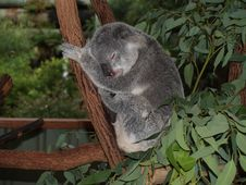 Free Koala Bear Stock Photo - 5550340