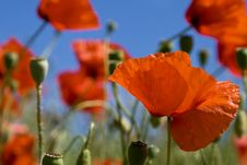 Free Poppies Royalty Free Stock Image - 5551286