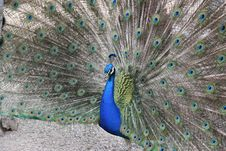 Free Peacock 2 Stock Image - 5552011