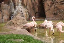 Free Flamingos Royalty Free Stock Photo - 5552025