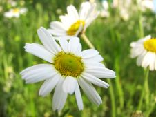 Free Chamomile Wildflower On The Green Meadow Royalty Free Stock Photos - 5552168