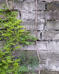 Free Vines On The Wall Stock Photo - 5552270