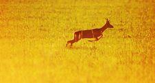 Free Animal Background. Roe-deer Royalty Free Stock Image - 5553296