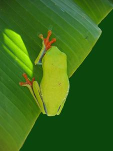 Red Eyed Tree Frog Hanging On A Leaf Royalty Free Stock Photography