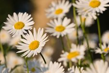 Free Camomile Stock Image - 5553671