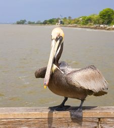 Free Pelican About To Fly Stock Photos - 5555033