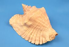 Free Seashell Stock Photos - 5555253