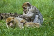 Free Barbary Macaque Family Group Stock Photos - 5555413