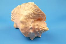 Free Seashell Royalty Free Stock Images - 5555449