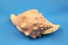 Free Seashell Royalty Free Stock Photos - 5555478