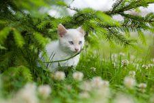 White Kitten Royalty Free Stock Image