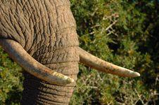 Free Elephant (Loxodonta Africana) Stock Image - 5556051