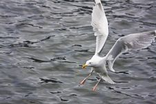 Free Sea Gull Royalty Free Stock Image - 5557096