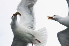 Free Sea Gull Stock Image - 5557221