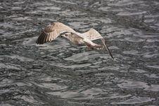 Free Sea Gull Stock Photos - 5557723
