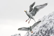 Free Sea Gull Royalty Free Stock Images - 5557779
