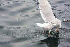 Free Sea Gull Royalty Free Stock Photography - 5557937