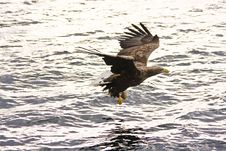 Free Sea Eagle Stock Photos - 5557993