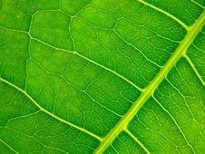 Free Leaf Royalty Free Stock Photos - 5558118
