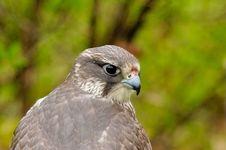 Free Saker Falcon Stock Photo - 5558130