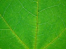Free Leaf Royalty Free Stock Image - 5558166