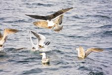 Free Sea Gulls Stock Photo - 5558330