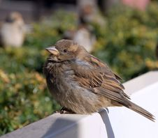 Free A Crummy Sparrow Sits On A White Bench Stock Images - 5558944