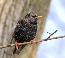 Free Starling Rests On The Branch Of Tree Royalty Free Stock Photos - 5558968