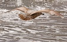 Free Flying Gull In Search Of Fish Stock Images - 5558974