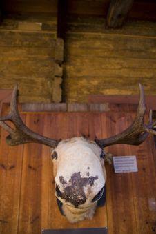 Free Stuffed Moose Heading Stock Images - 5559084