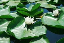 Free Water Lily Stock Image - 5559301