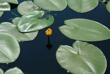 Free Water Lily Royalty Free Stock Photo - 5559305