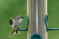 Free A Small Sparrow Pulls Back Its Wings. Stock Image - 5559371