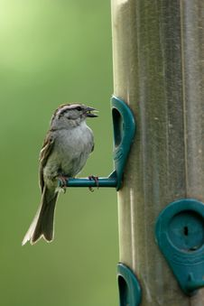 Free A Small Sparrow With A Seed In Its Beak. Royalty Free Stock Photo - 5559425