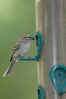 Free A Sparrow Eats A Seed. Royalty Free Stock Image - 5559426
