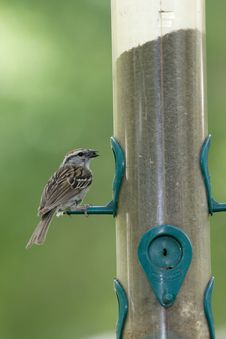 Free A Cute Sparrow Looks With A Seed. Stock Photos - 5559473