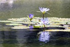 Free Water Lily Royalty Free Stock Photos - 5559528