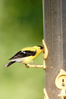 Free American Goldfinch On A Feeder. Royalty Free Stock Images - 5559529