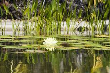 Free Water Lily Royalty Free Stock Photos - 5559538