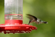 Free A Hummingbird Hovers While Feeding. Royalty Free Stock Images - 5559619