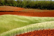 Free Wheat Field On Red Land Royalty Free Stock Image - 5559656